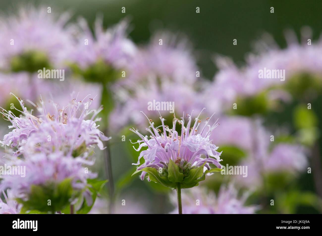 wild bergamot - Stock Image