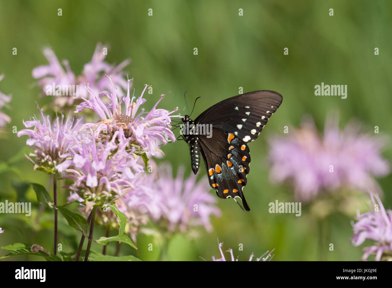 Black swallowtail on wild bergamot Stock Photo