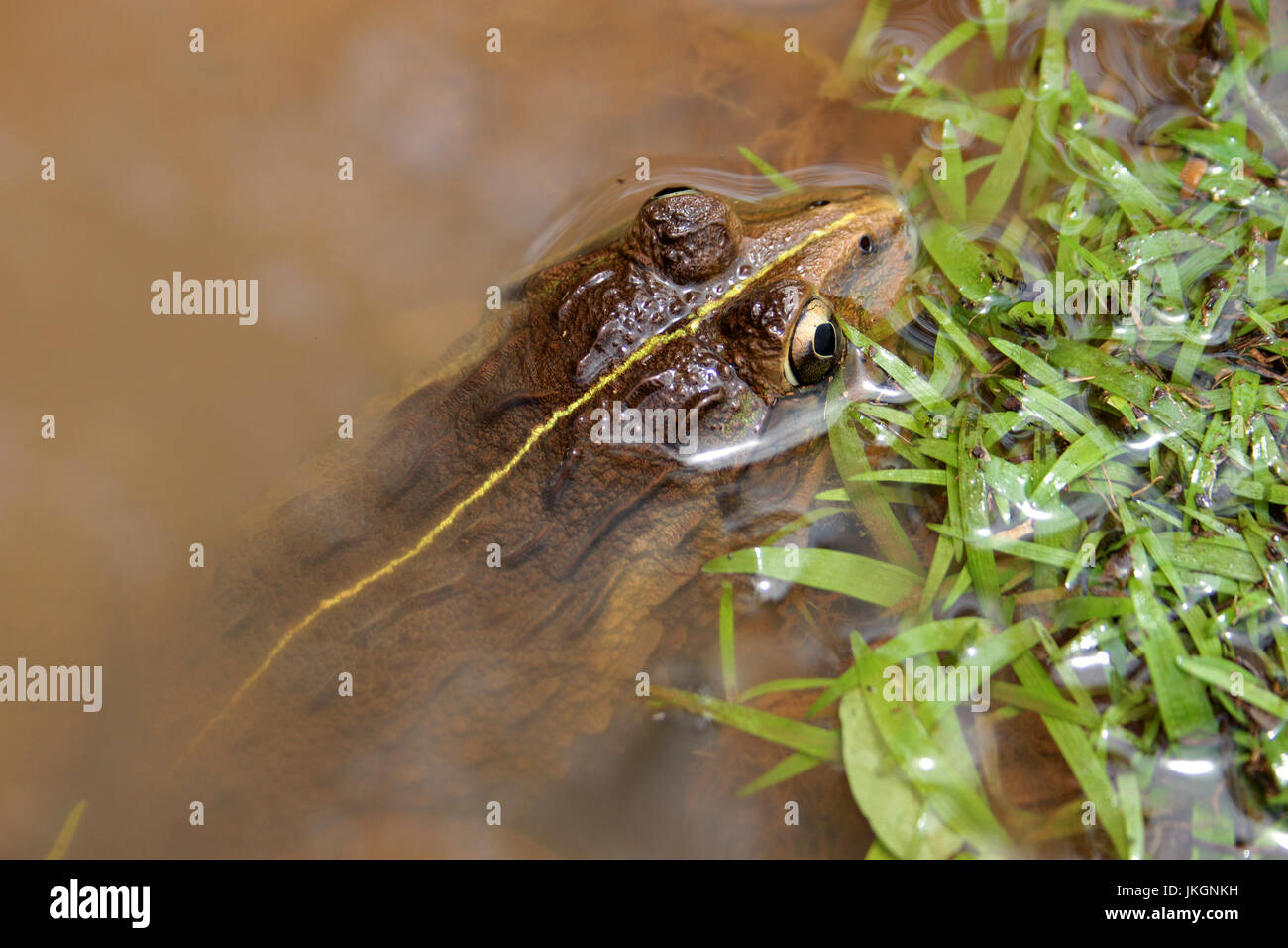 Indian bullfrog with golden eyes lurking in the pond - Stock Image