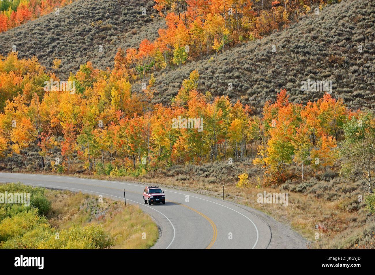 Street and Quaking Aspen in autumn, Grand Teton national park, Wyoming, USA / (Populus tremuloides) | Strasse und - Stock Image