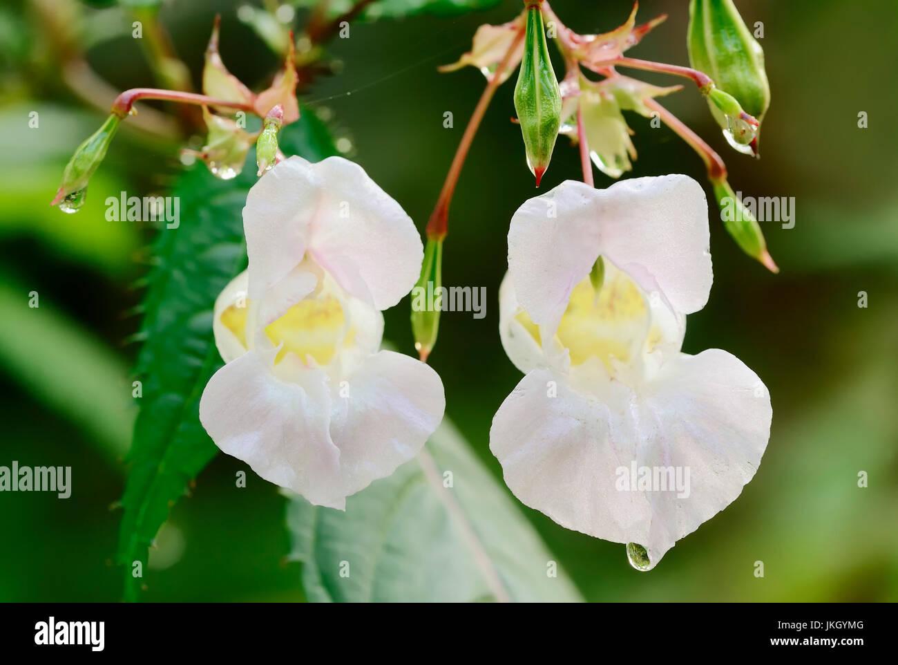 Himalayan Balsam, North Rhine-Westphalia, Germany / (Impatiens glandulifera) / Indian Balsam | Indisches Springkraut, Nordrhein-Westfalen Stock Photo