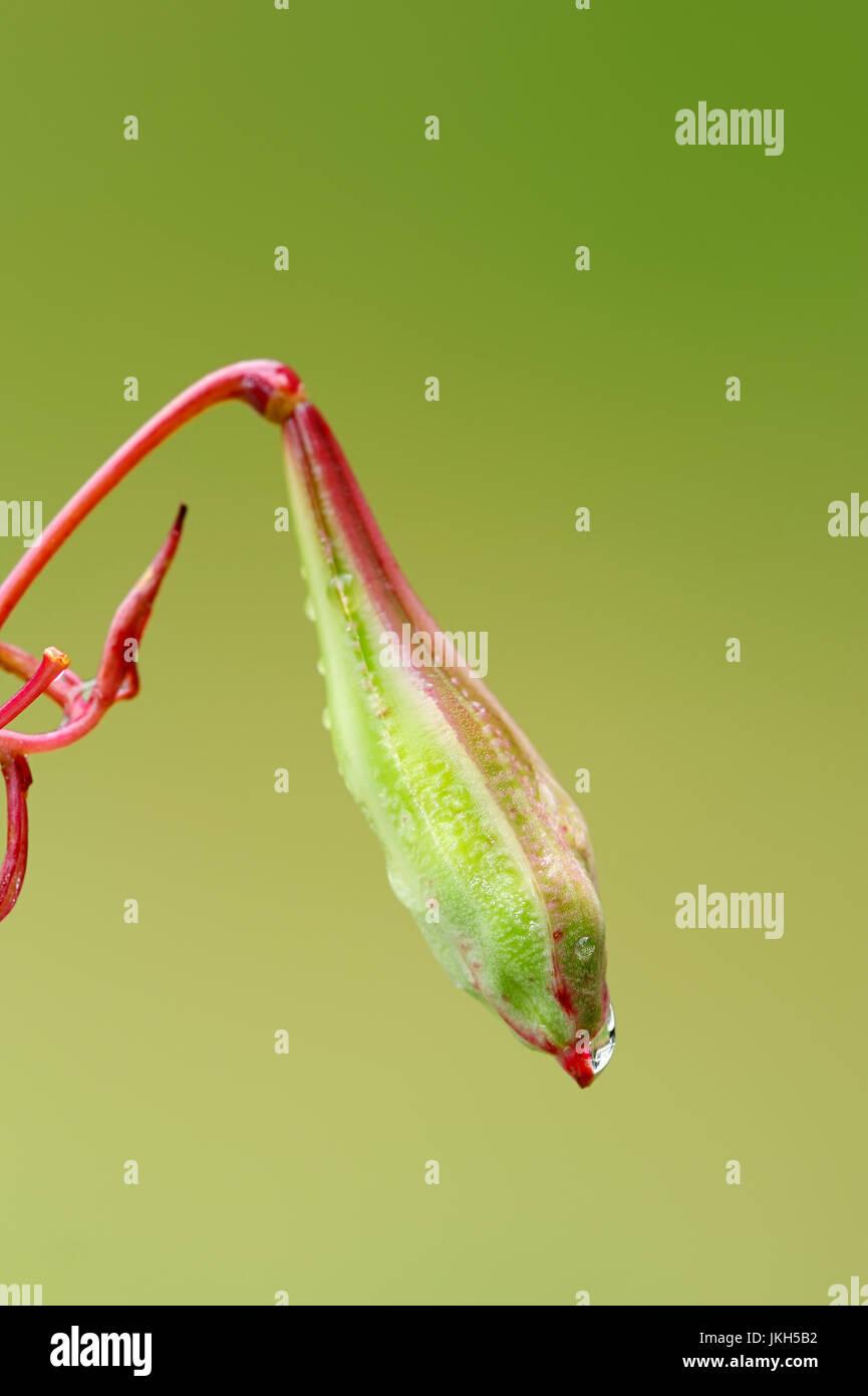 Himalayan Balsam, seedhead, North Rhine-Westphalia, Germany / (Impatiens glandulifera) / Indian Balsam | Indisches Springkraut, Fruchtstand Stock Photo