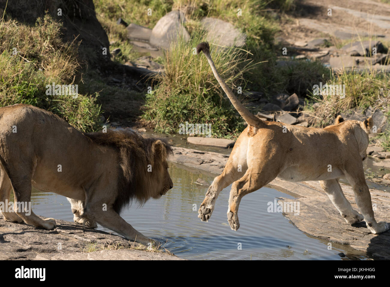 Lion and jumping lioness at waterhole - Stock Image
