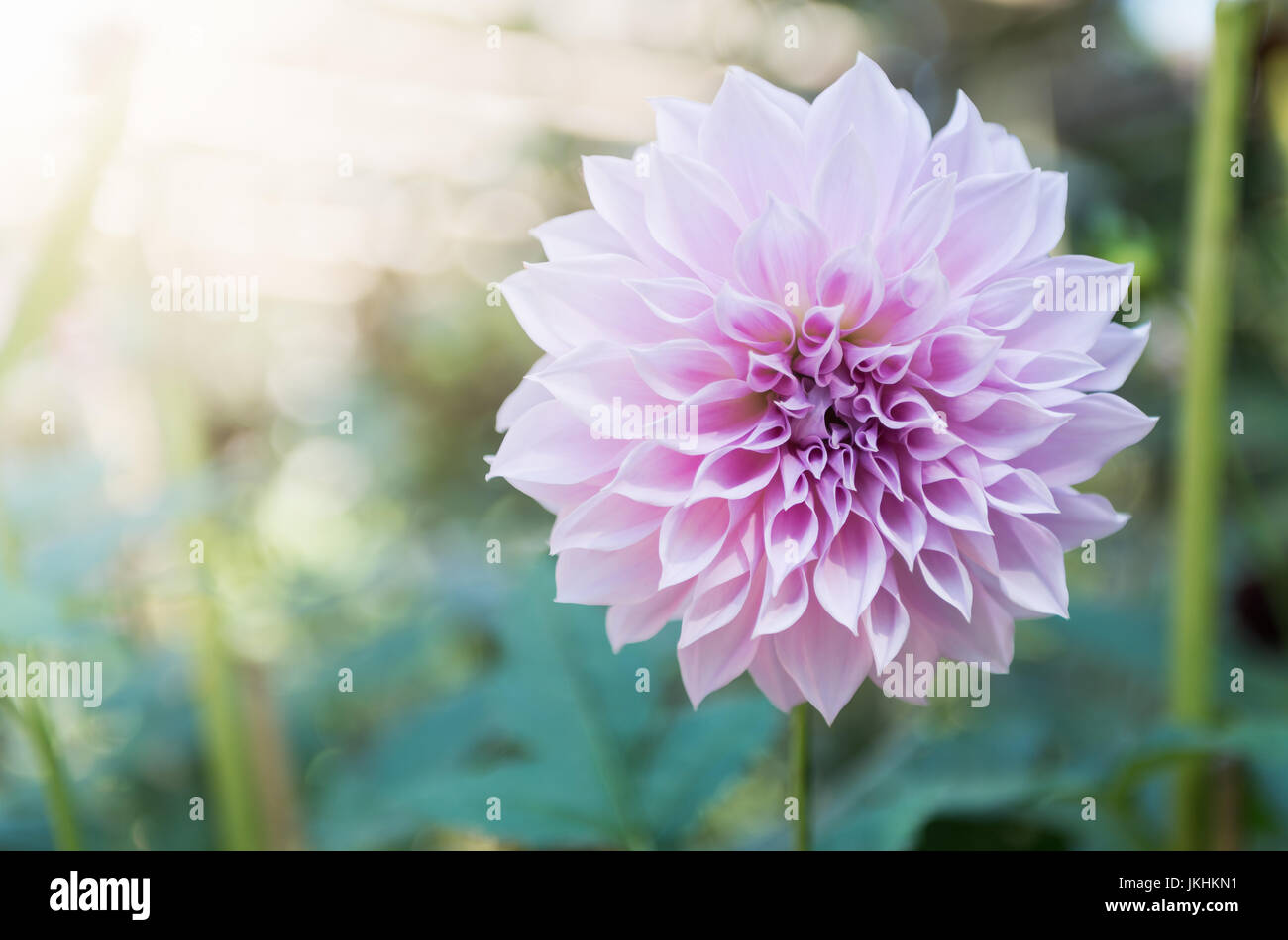 Dahlia Light Stock Photos Dahlia Light Stock Images Alamy