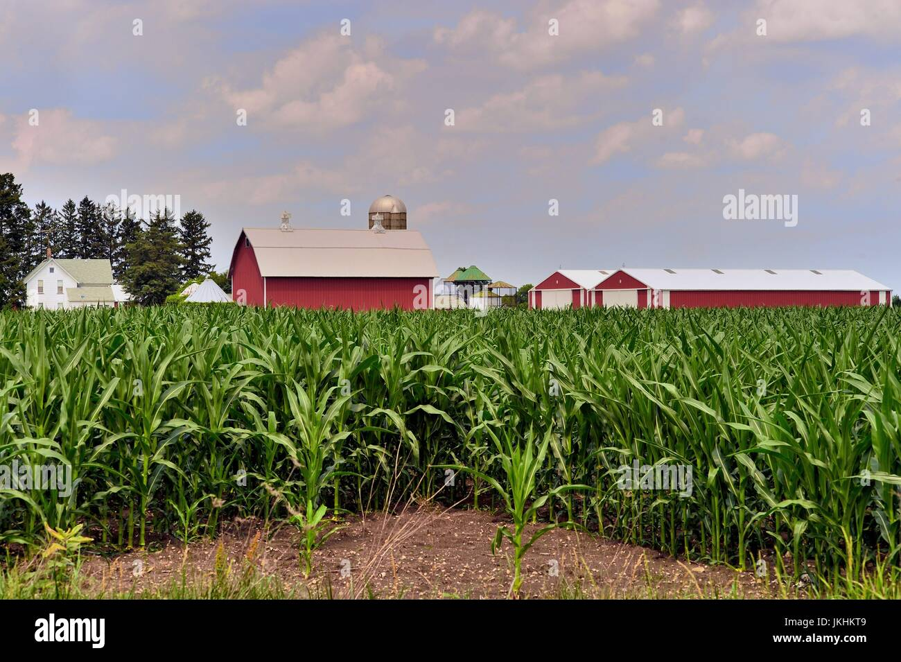 A corn crop on an Illinois farm begins to obscure a farmohouse, barn, silos and other buildings. South Elgin, Illinois, - Stock Image