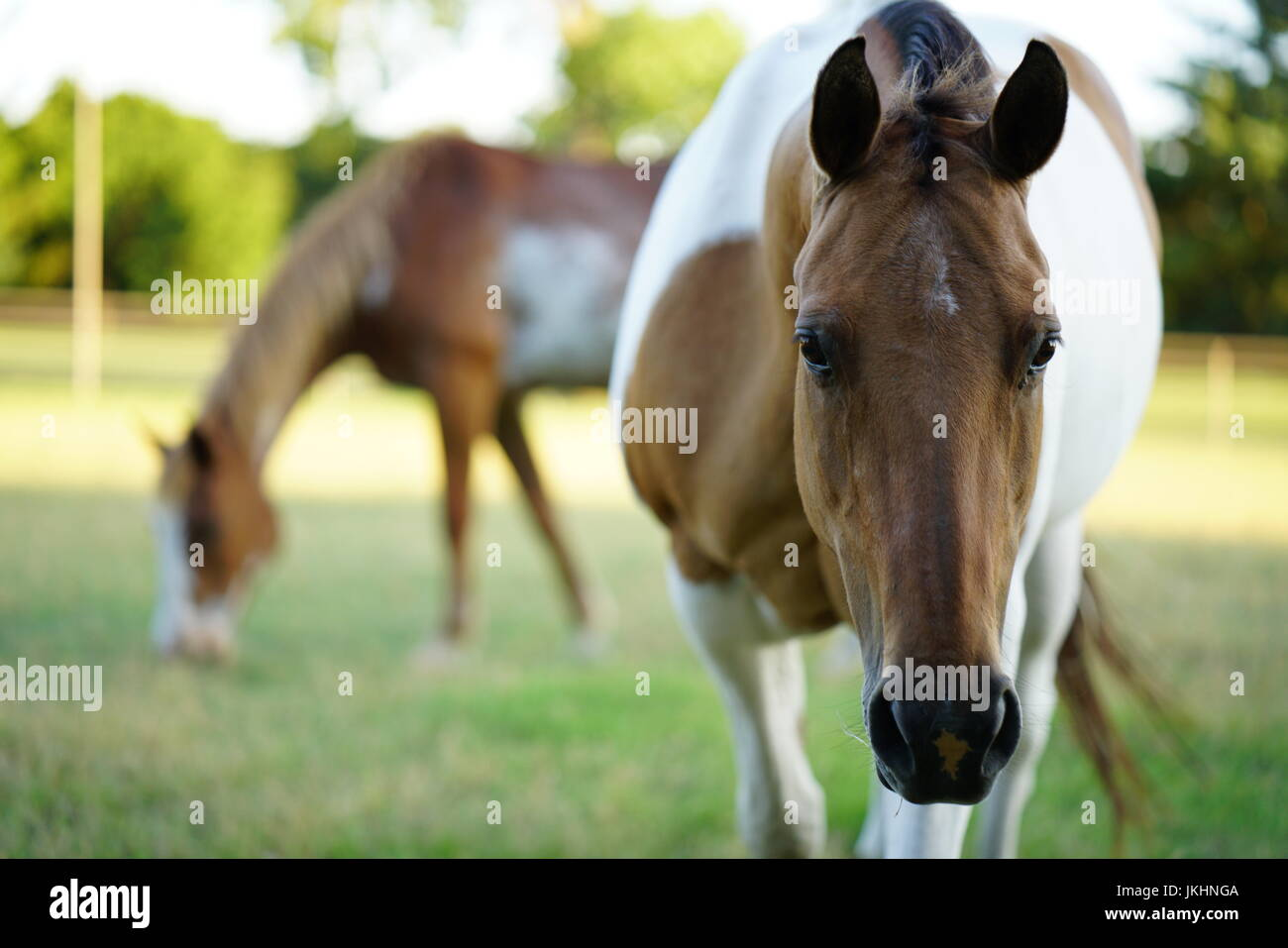 Horse staring into the camera while other grazes - Stock Image