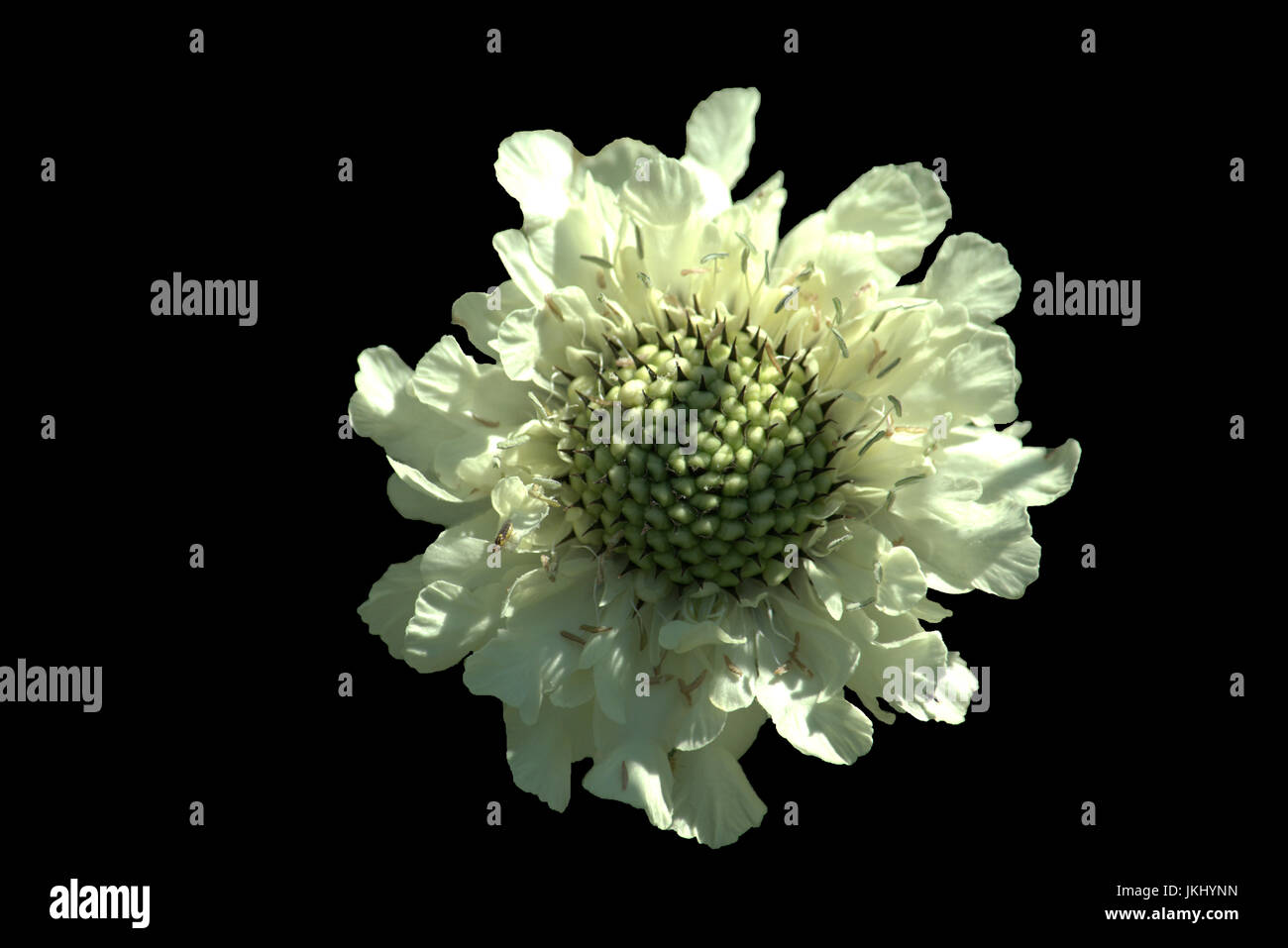 White giant scabious flower isolated on black background - Stock Image