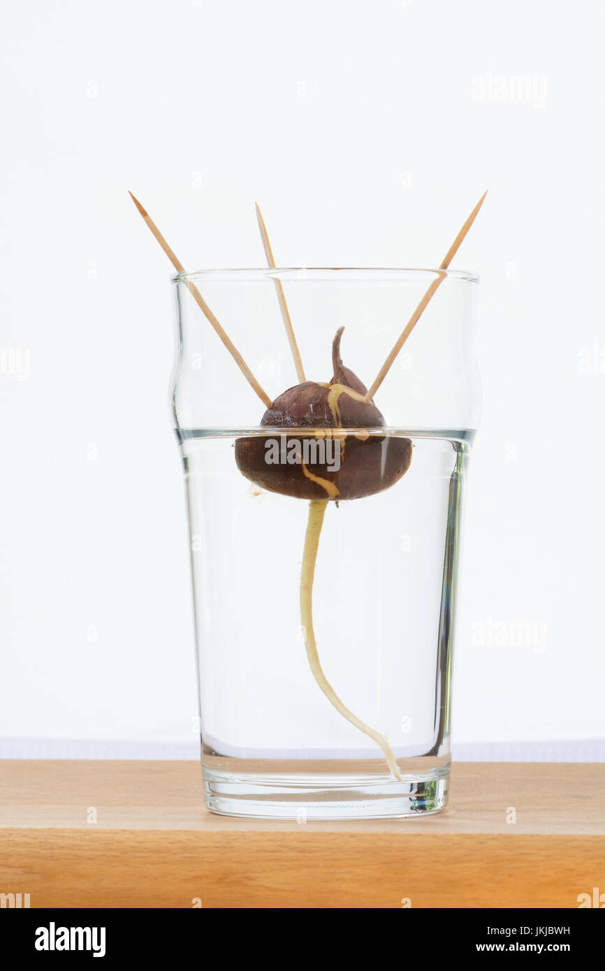 Growing an avocado tree from seed stone in water using toothpicks to suspend the stone in a glass of water - Stock Image