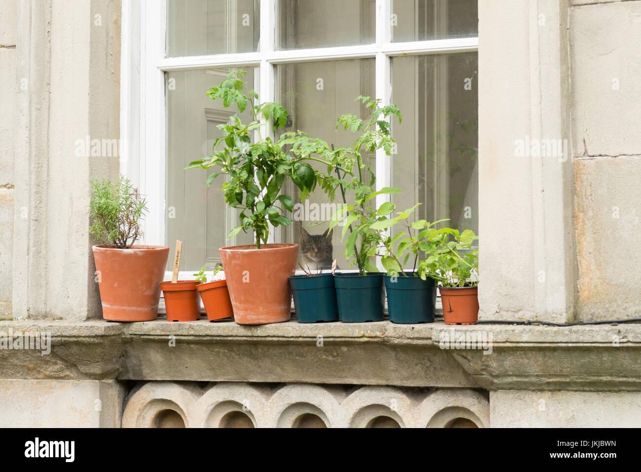 window herb garden with cat looking through window - uk - Stock Image