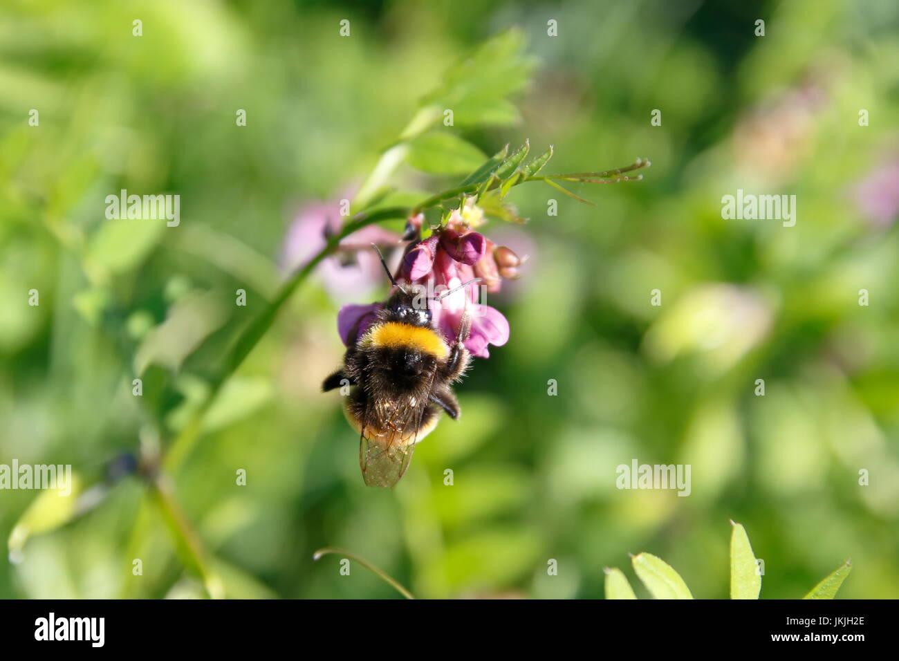 Biene auf Zaunwicke, Wicke auf Wiese Stock Photo