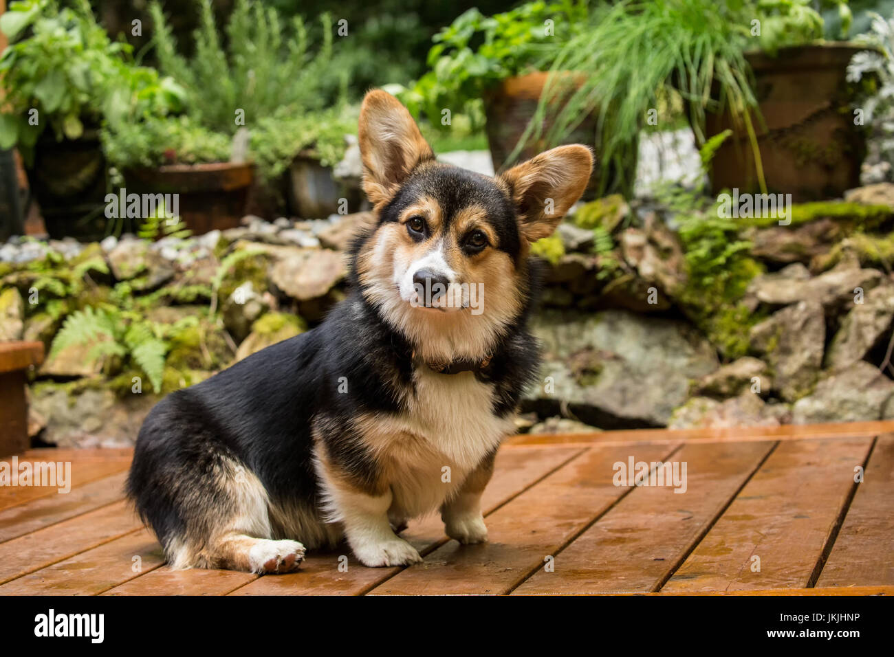 Tucker, a six month old Corgi puppy, posing on his wooden deck in Issaquah, Washington, USA - Stock Image