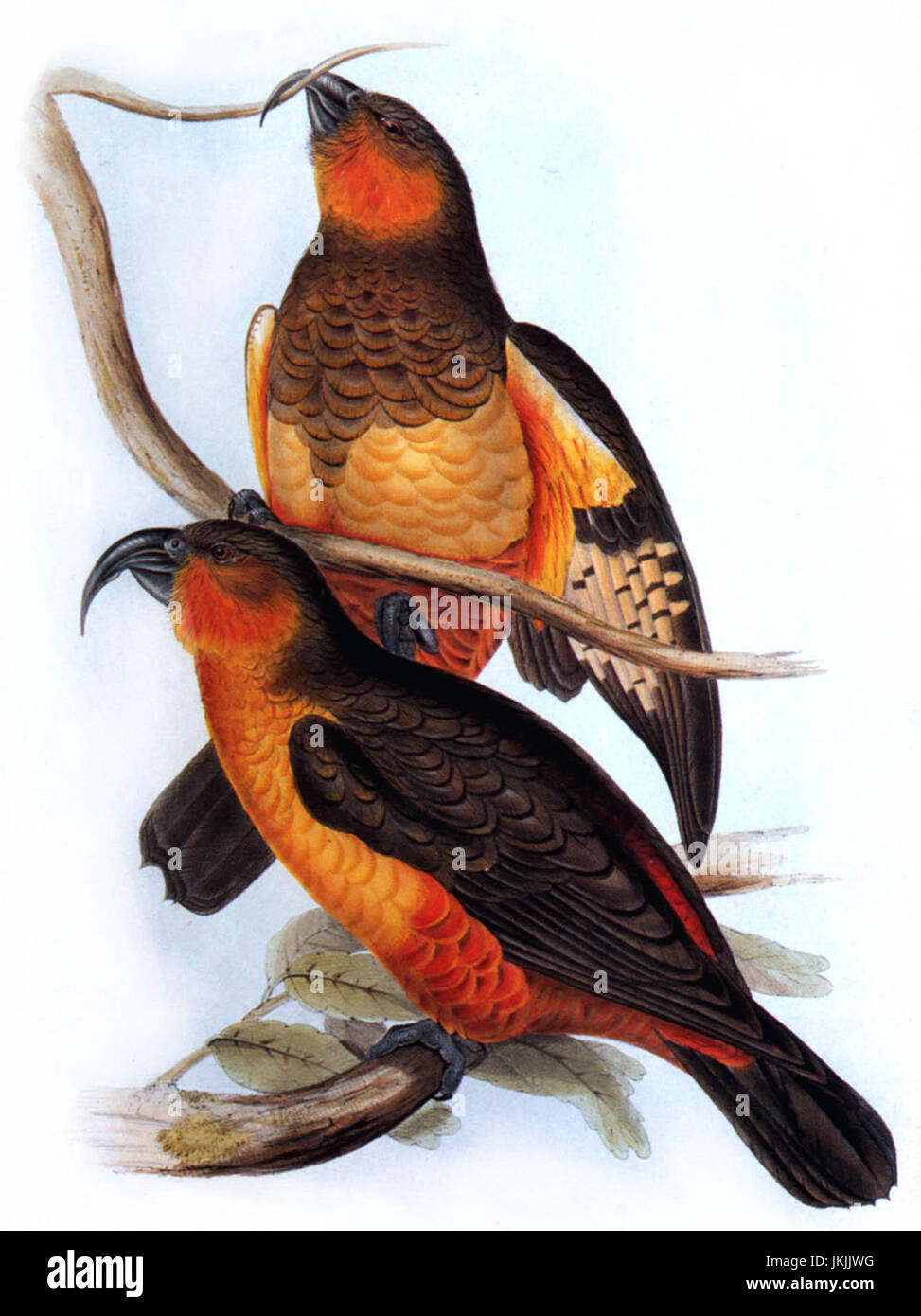 The Norfolk kaka went extinct in the mid-1800s - Stock Image