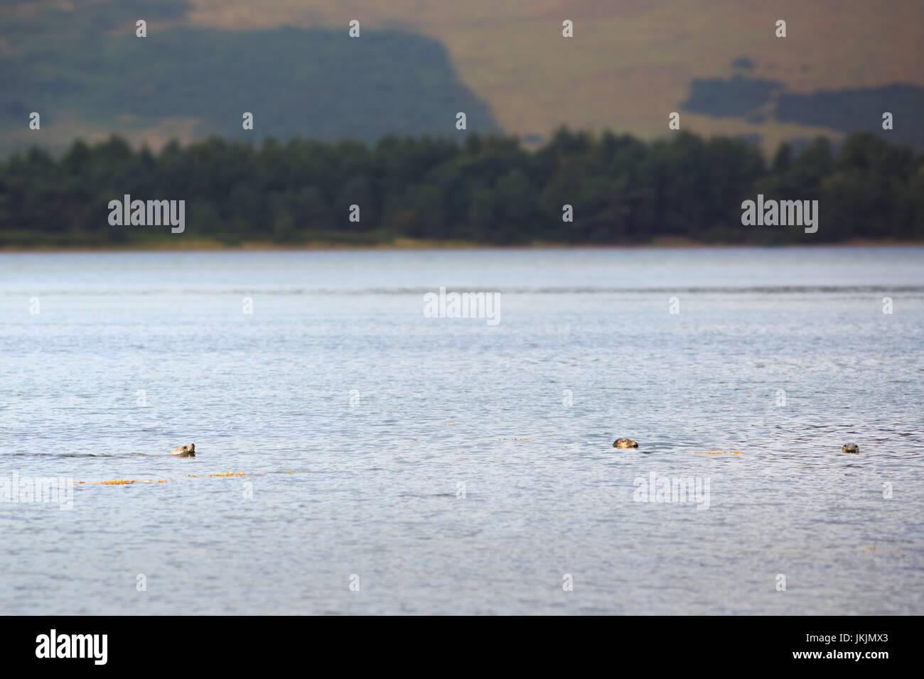 heads of common seals at Loch Fleet, Dornoch Firth, Scotland - Stock Image