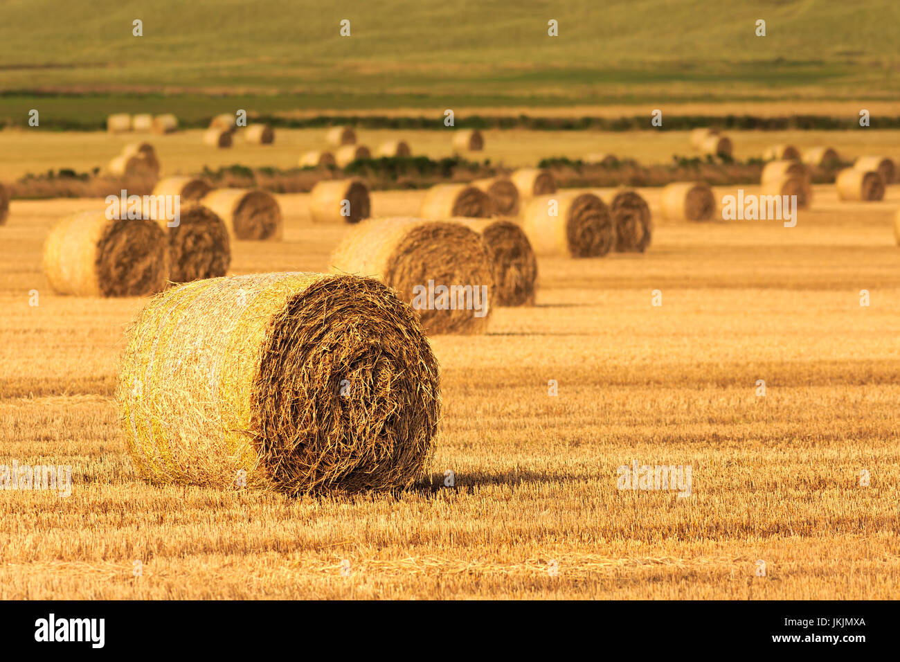 Bales of hay at eastern coast of Scotland, reaped field - Stock Image