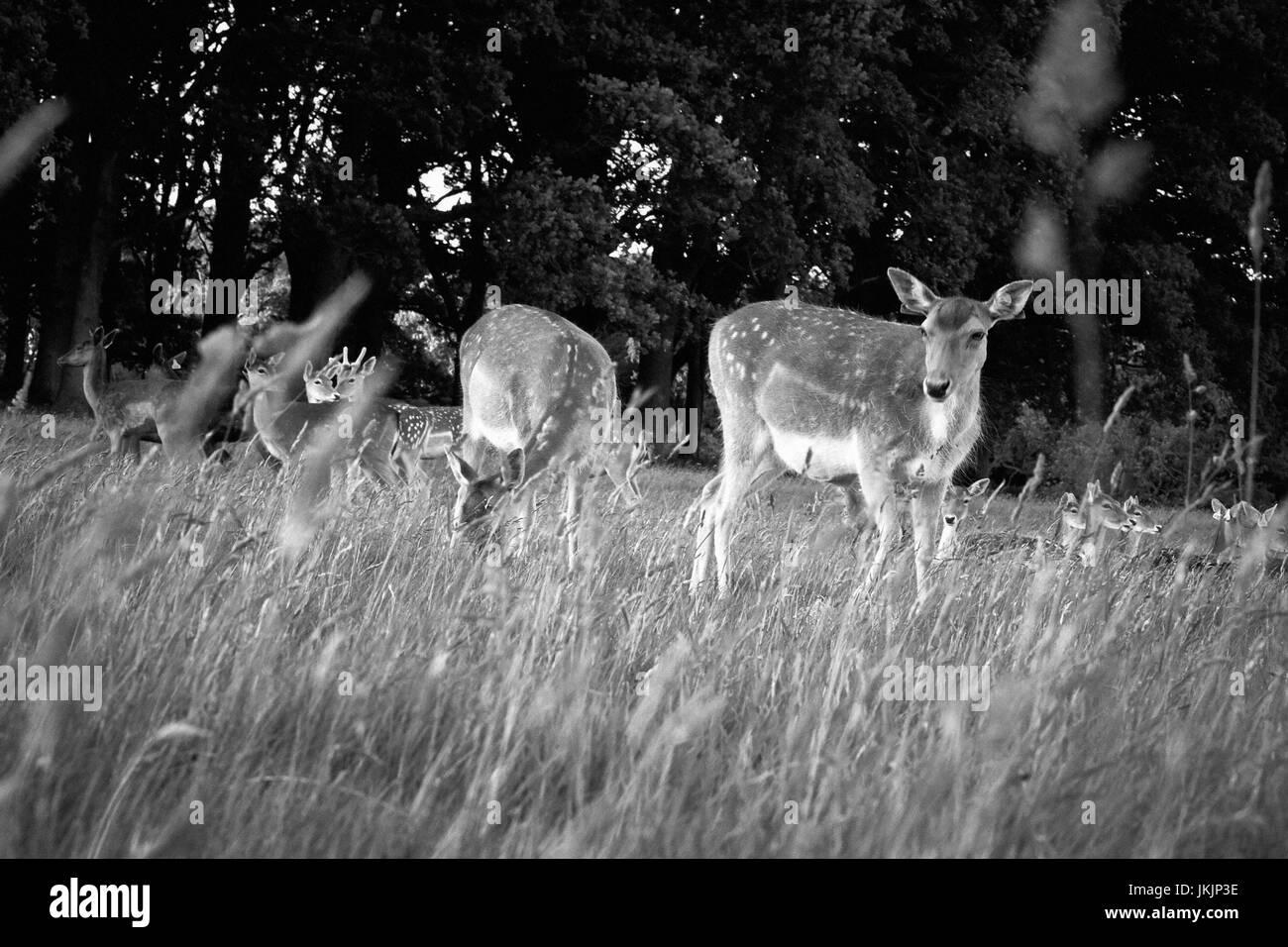 Herd of deer in Phoenix Park, Dublin, Ireland - Stock Image