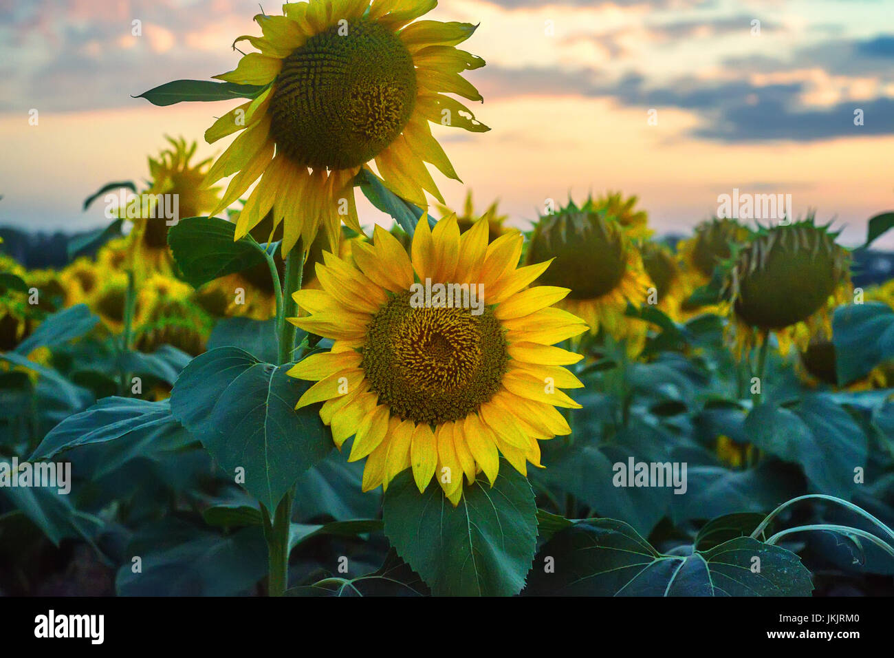 Field of sunflowers during sunset - Stock Image