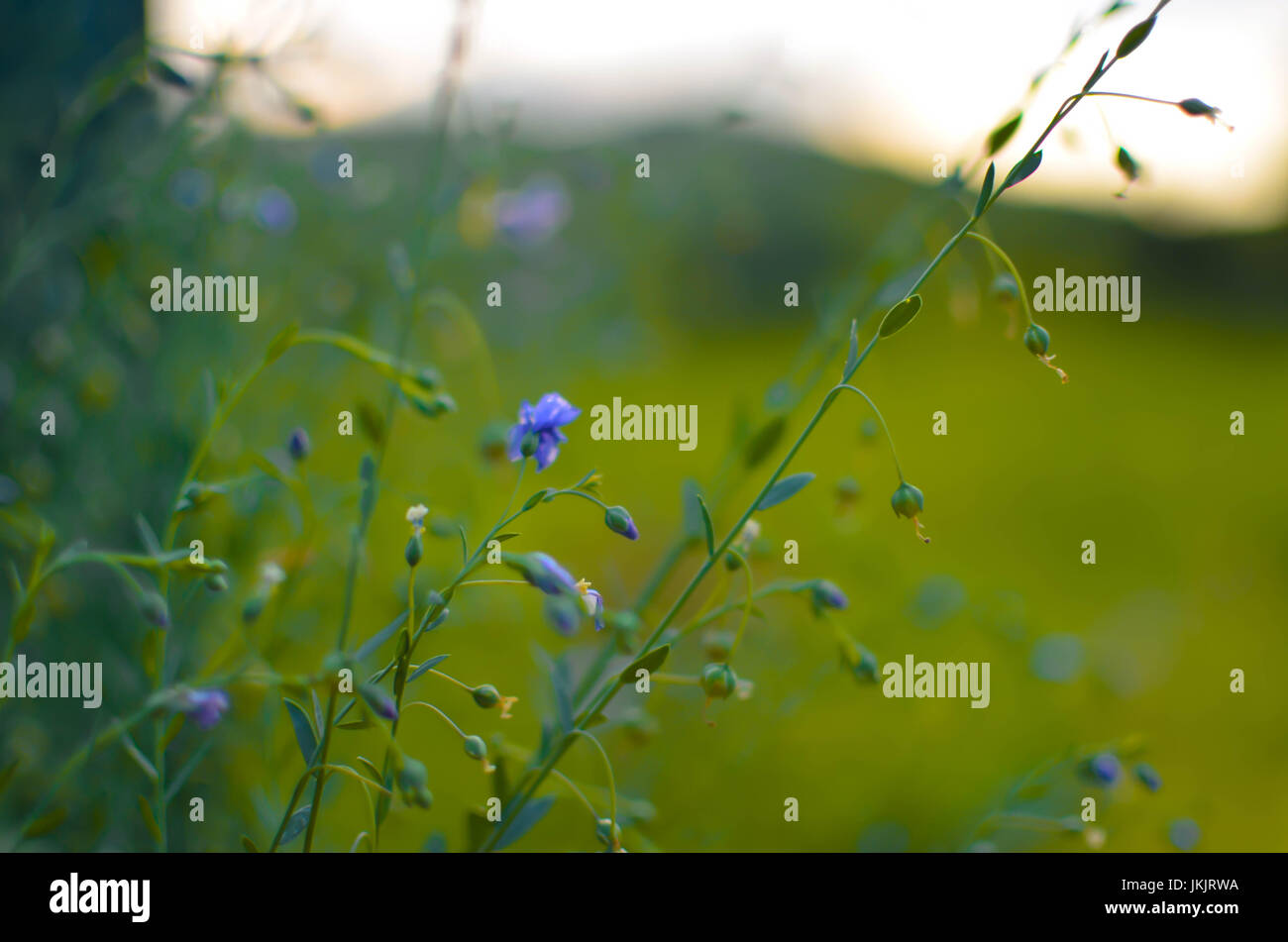 Common Flax Linum Usatissimu Flowers Flowers And Buds Seeds Are