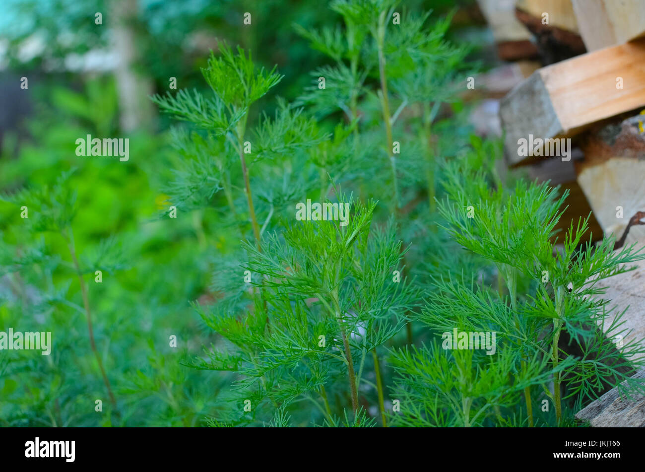 camomile green leaves without flowers in spring garden stock photo