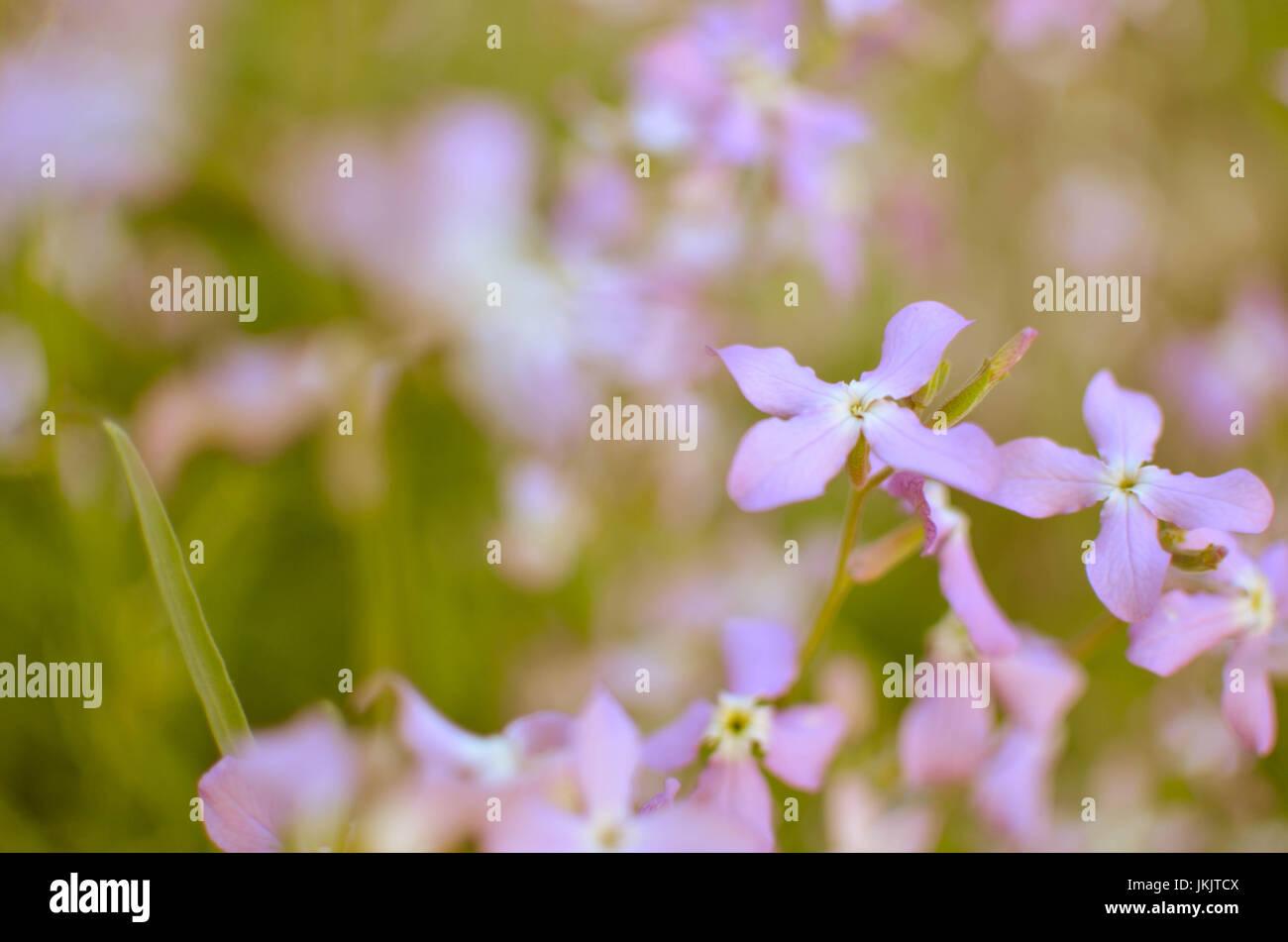 Night violets. Mattiola flower - photo 35