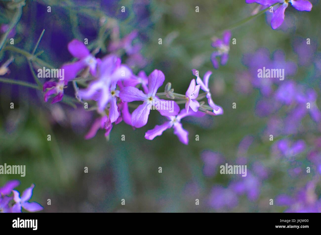 Night violets. Mattiola flower - photo 25