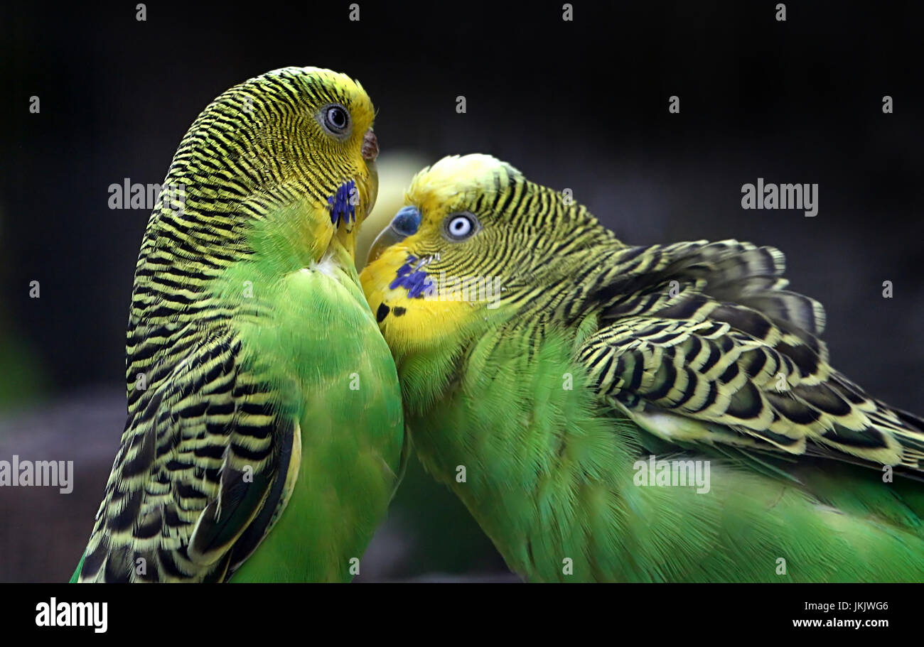 Pair of courting Australian Budgerigar Parakeets (Melopsittacus undulatus) in close-up. Stock Photo