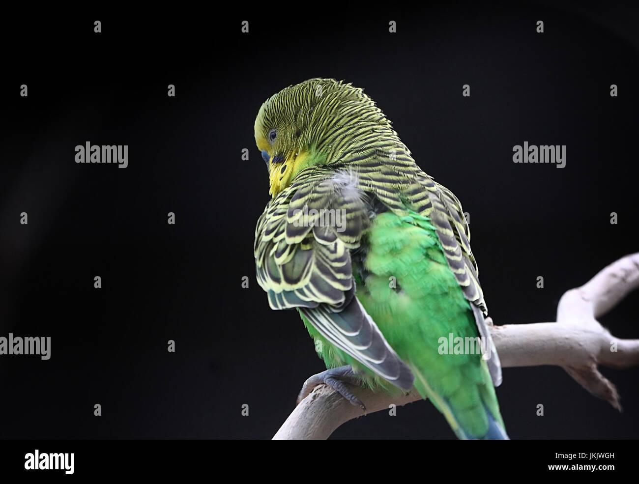 Australian Budgerigar Parakeet (Melopsittacus undulatus) in closeup. - Stock Image