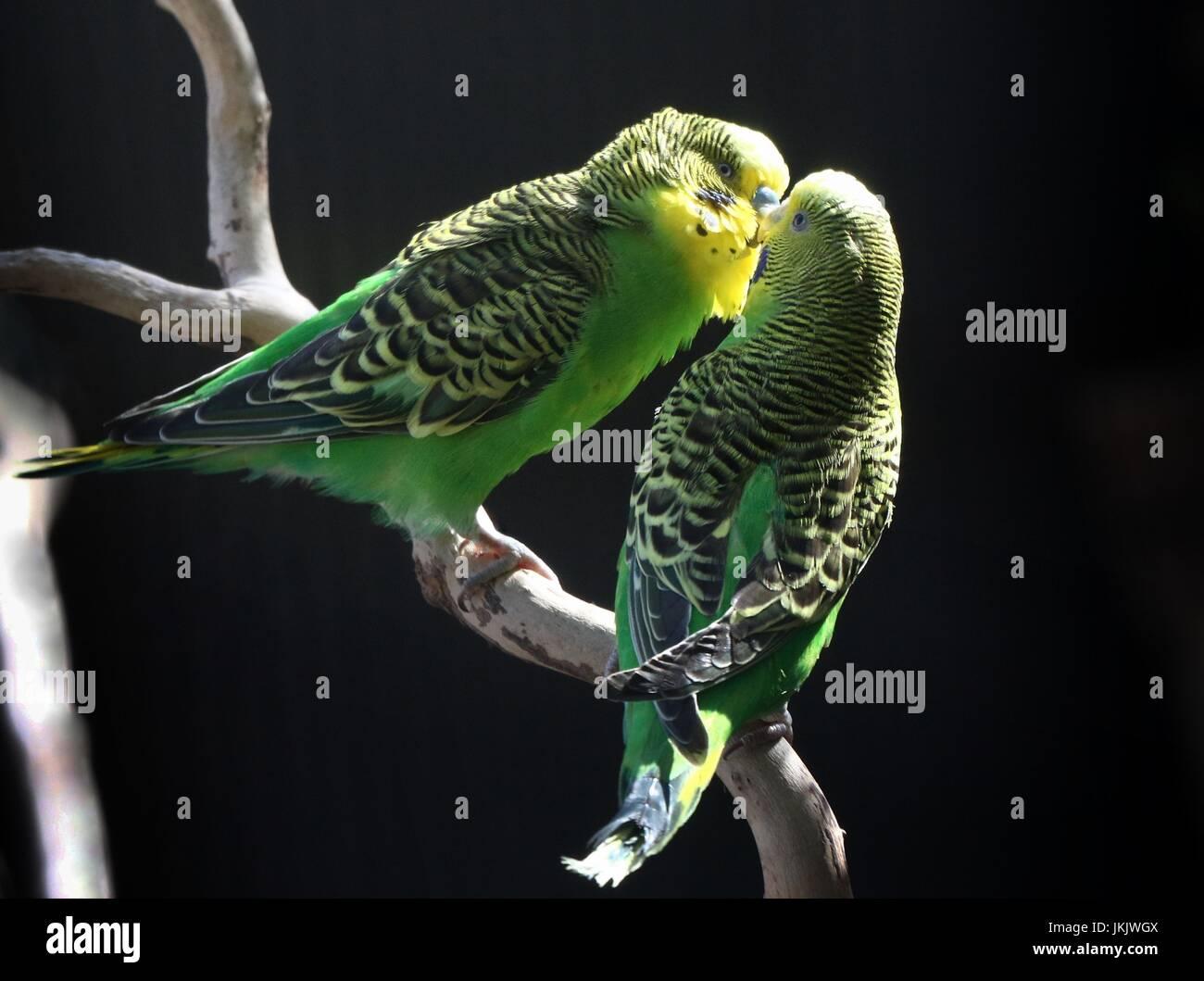 Pair of courting Australian Budgerigar Parakeets (Melopsittacus undulatus) in close-up. - Stock Image