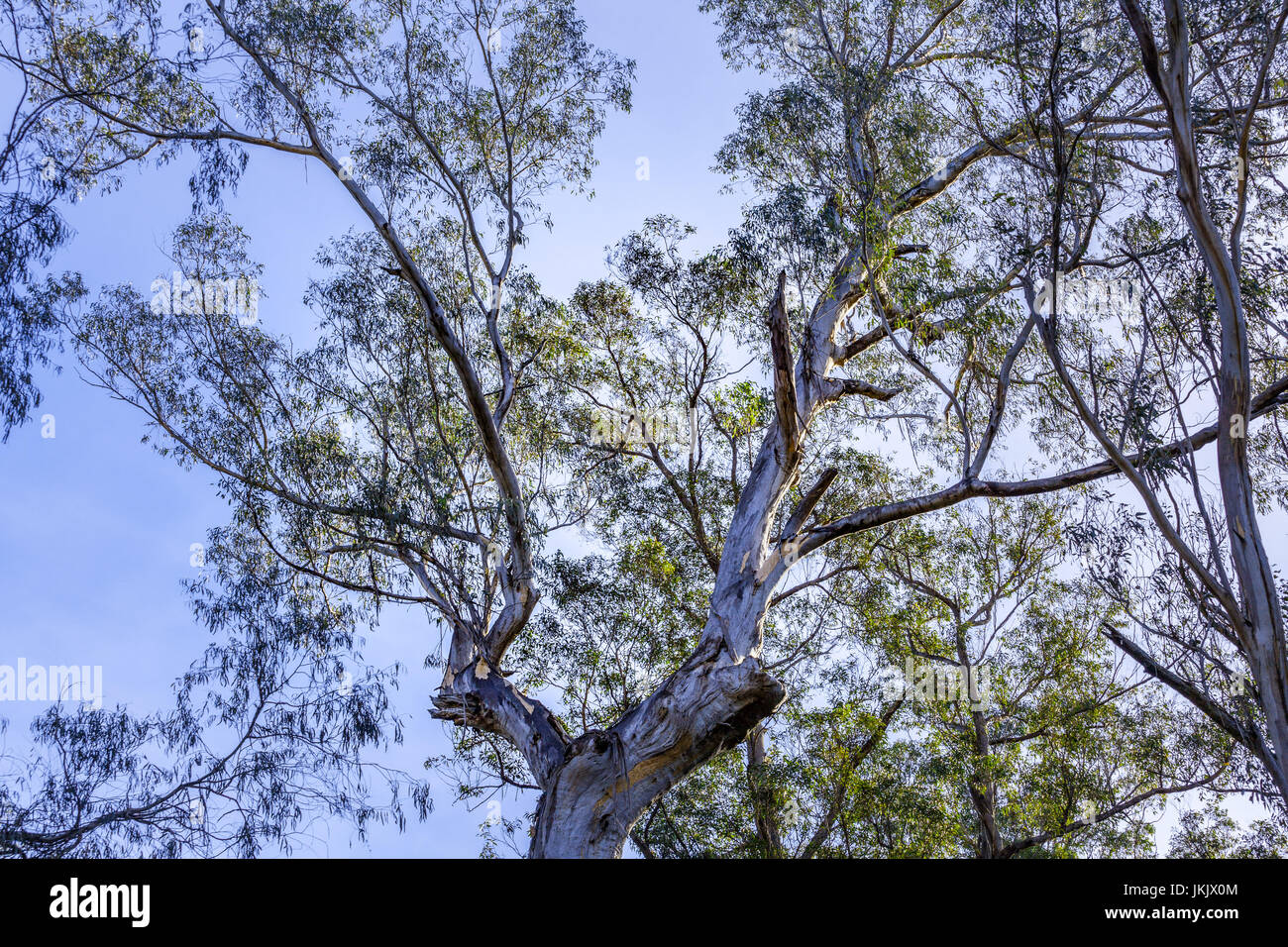 Australian native blue gum tree looking up at the sky - Stock Image