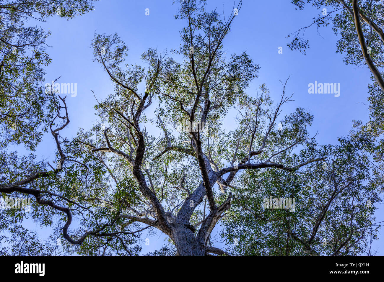 Australian native blue gum trees and sky - Stock Image
