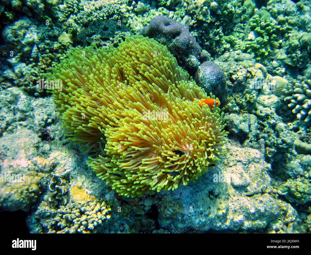 Clown fish living in an anemone. House reef of Helengeli Island, Maldives. Underwater photography. - Stock Image