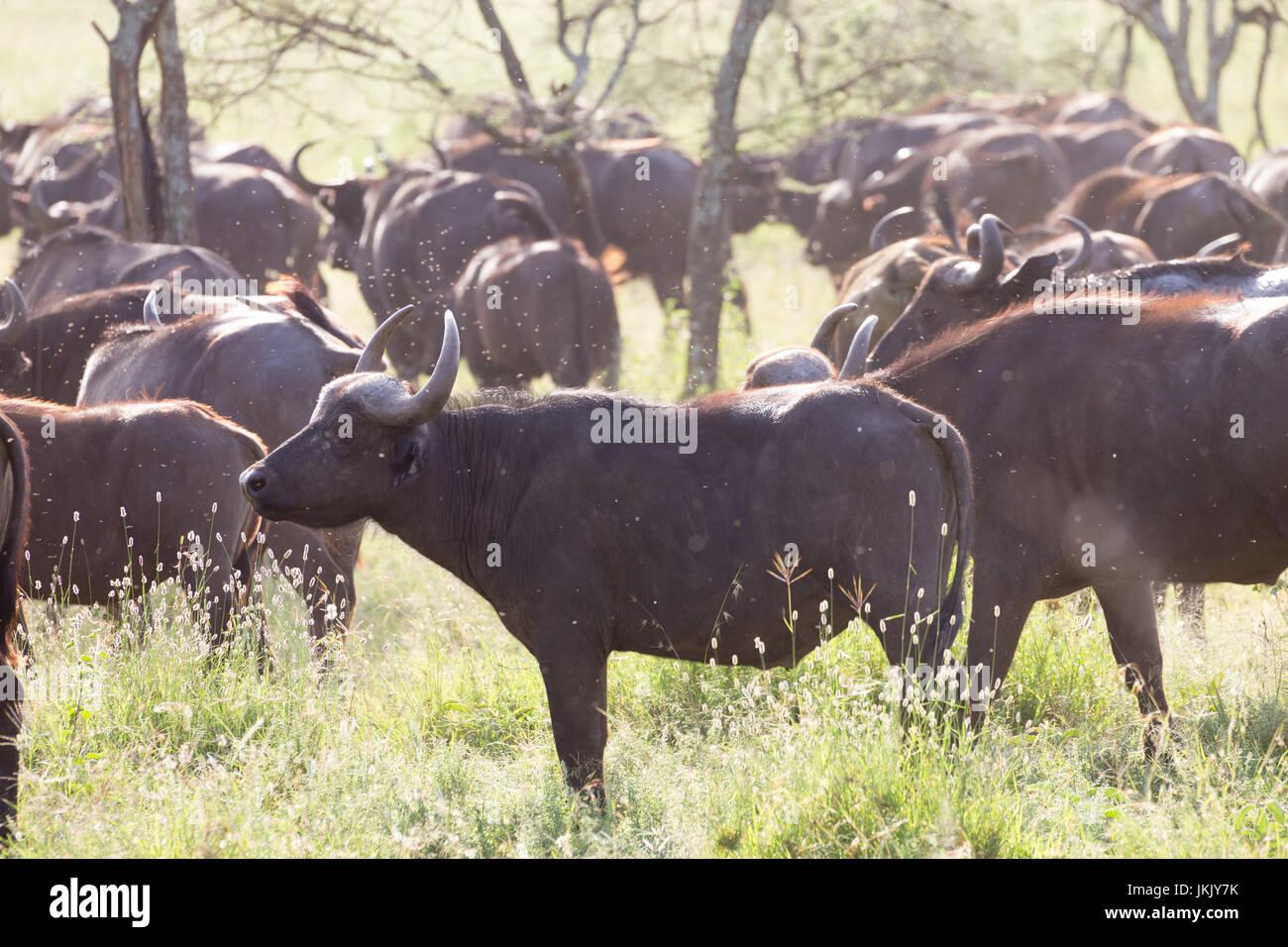 African Buffalo herd in the Ngorongoro Crater, Tanzania Stock Photo