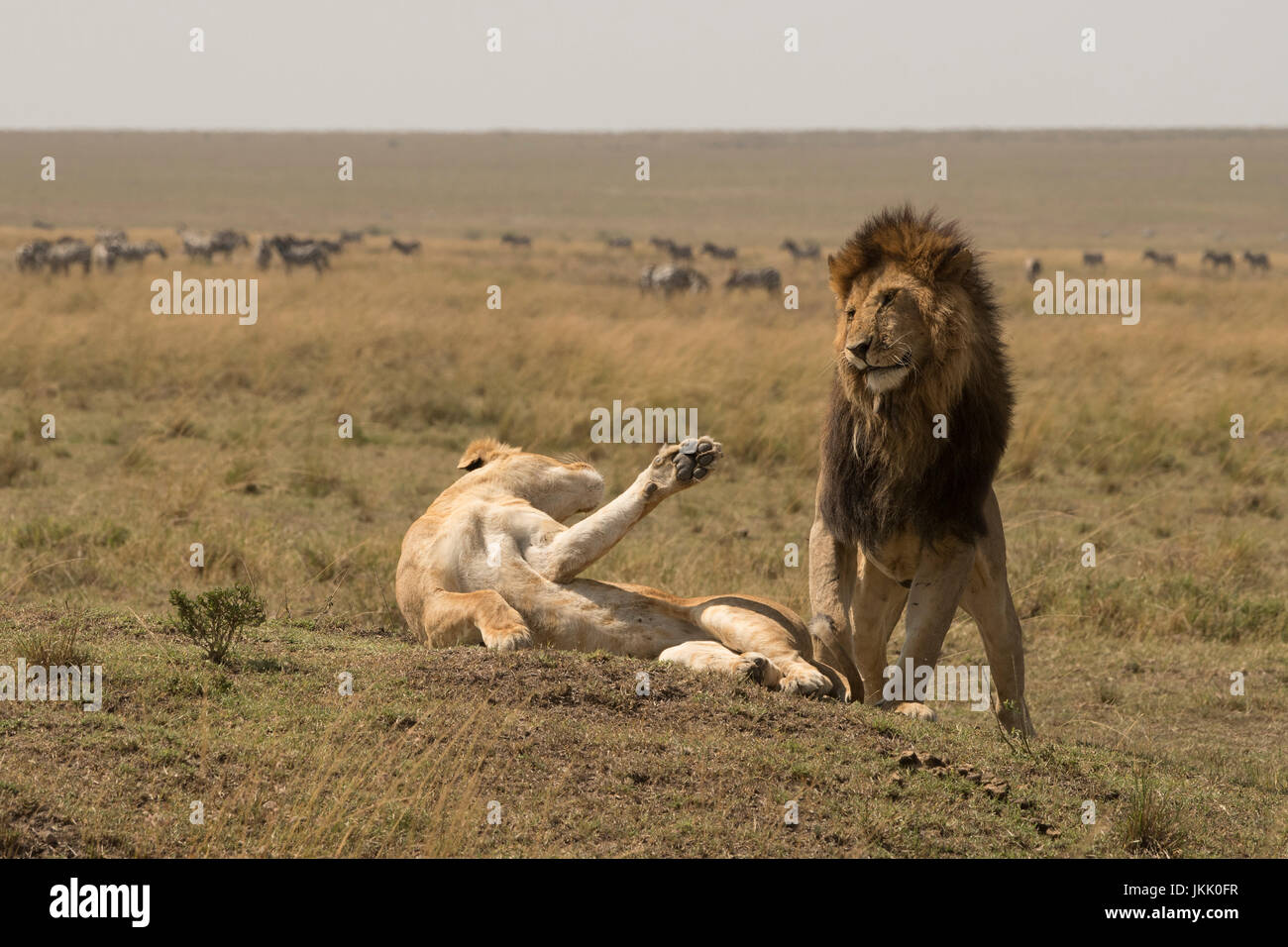 Lioness striking out at male after mating in the Masai Mara in Kenya - Stock Image