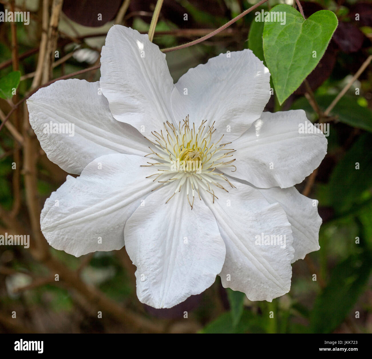 Large White Flower Of Clematis A Deciduous Climber Against Dark