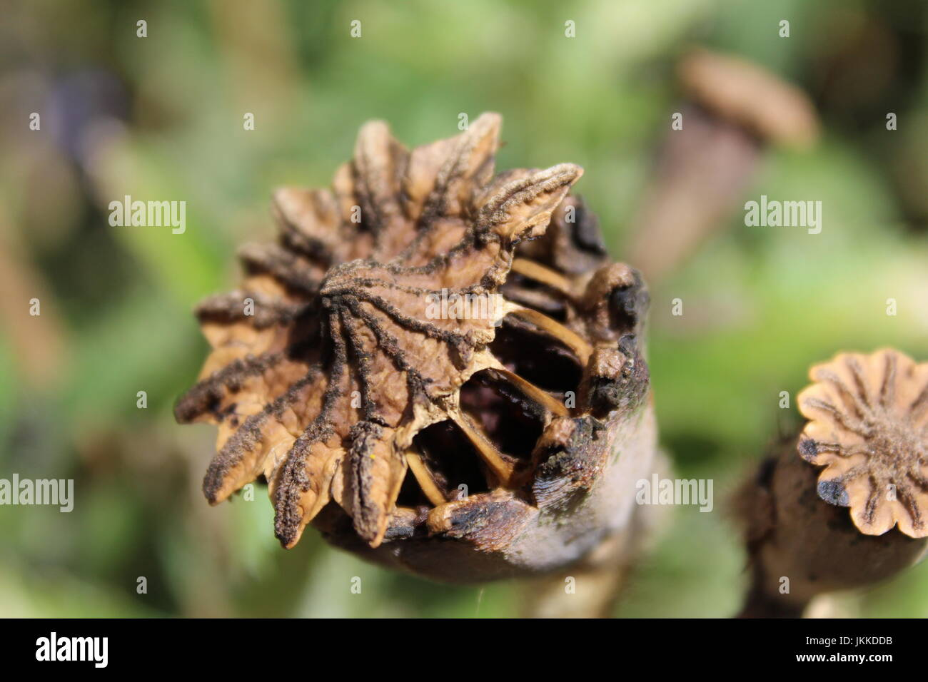 Seed pod of Papaver Orientale - Stock Image