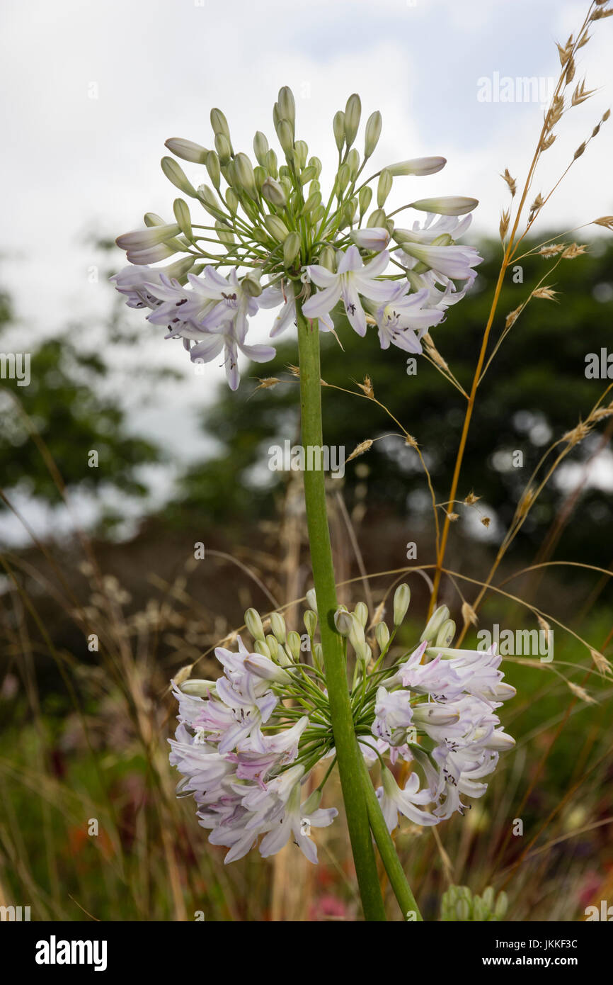 Rounded heads of small,blue tinged white flowers of the hardy perennial, Agapanthus 'Bethlehem Star' - Stock Image