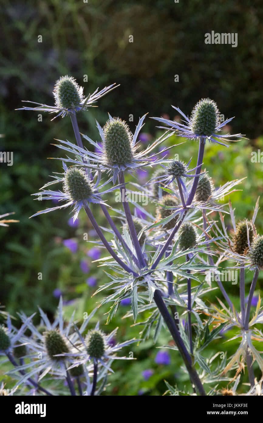 Blue stems and spiky bracts support the backlit flower heads of Eryngium x zabelii 'Forncett Ultra' - Stock Image