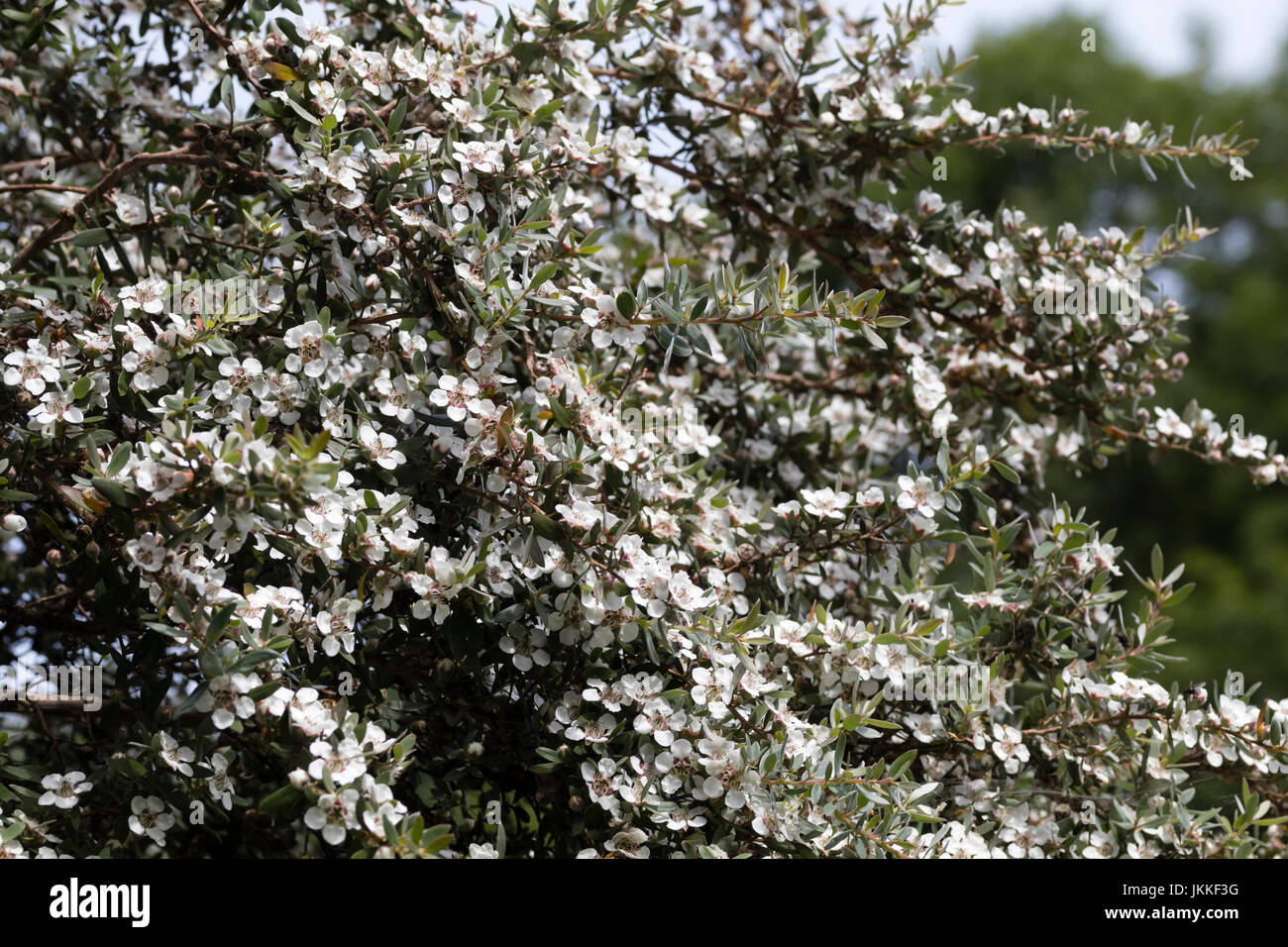 Small white flowers smother the branches of the Mountain tea tree, Leptospermum grandiflorum - Stock Image