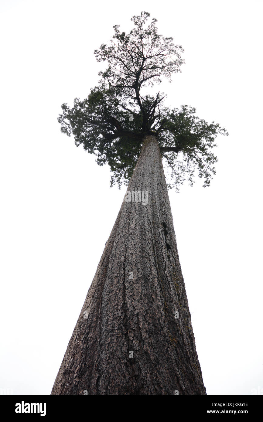 Looking up the trunk of 'Big Lonely Doug,' the world's 2nd largest Douglas fir, in a clearcut, near - Stock Image