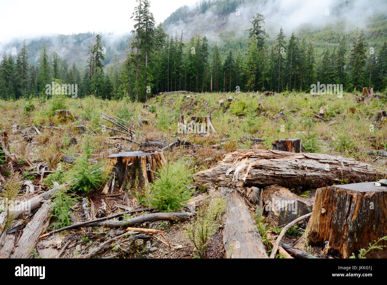 Giant tree stumps in an old growth rainforest clearcut near Port Renfrew, on Vancouver Island, British Columbia, - Stock Image