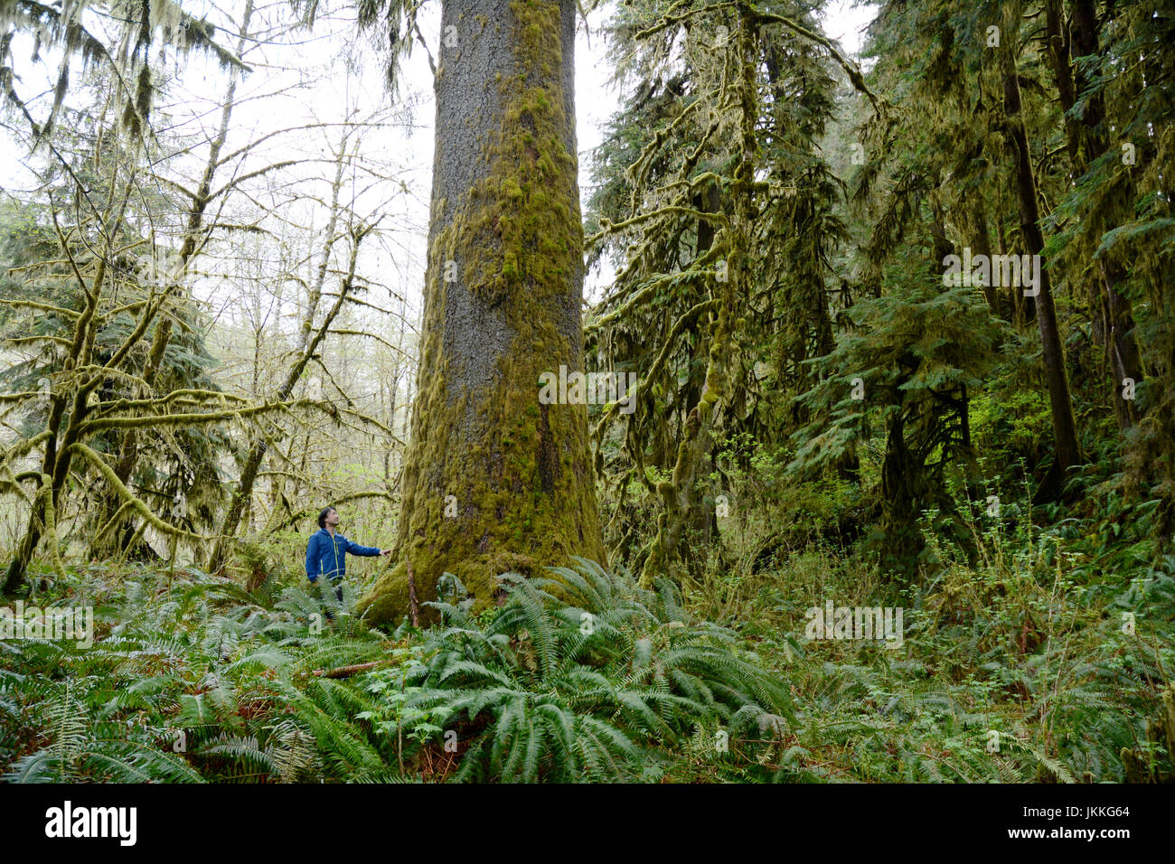 A Canadian environmentalist standing beneath a giant, old growth Sitka spruce tree in the rainforest near Port Renfrew, - Stock Image