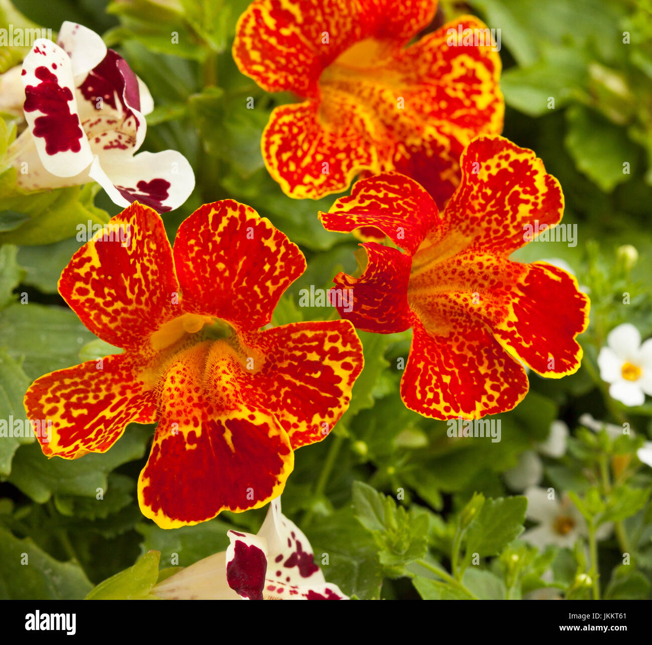 Stunning fire red flowers speckled with yellow of Mimulus Masterpiece, monkey flower, a perennial bedding plant, - Stock Image