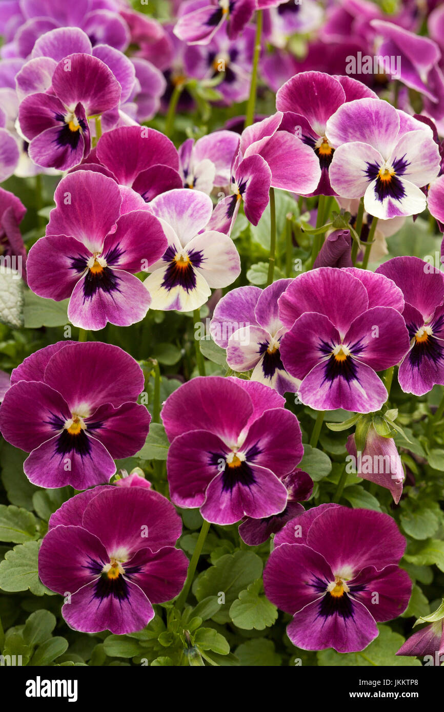 Purple And White Flowers Of The Pansy Stock Photos Purple And