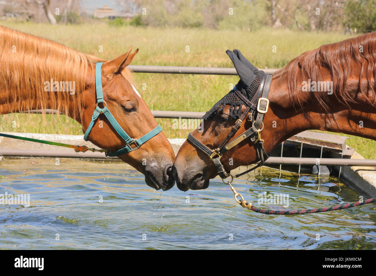 Closeup of two horses nose to nose at a water trough - Stock Image