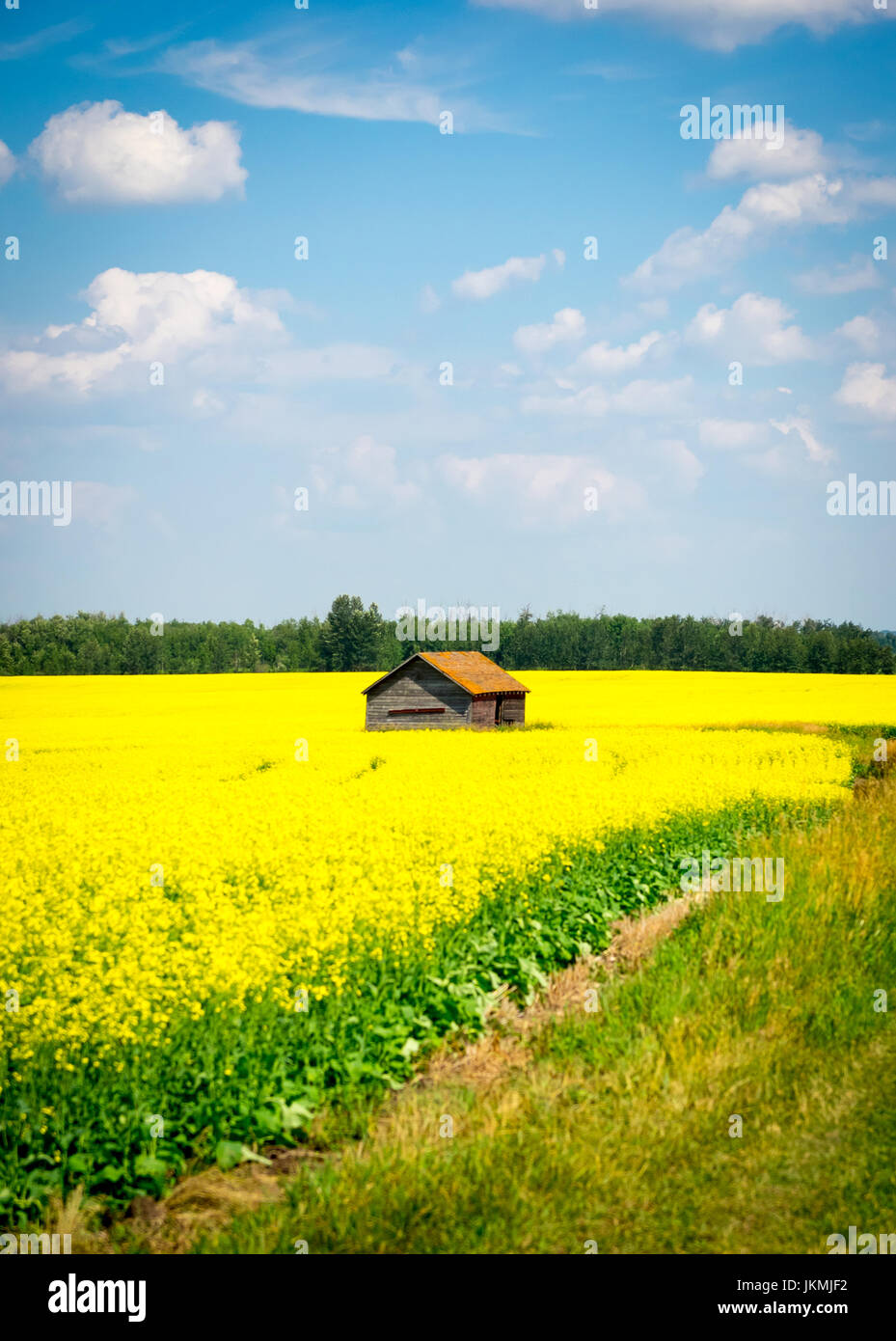 The brilliant yellow flowers of a canola field near Beaumont, Alberta, Canada. Stock Photo