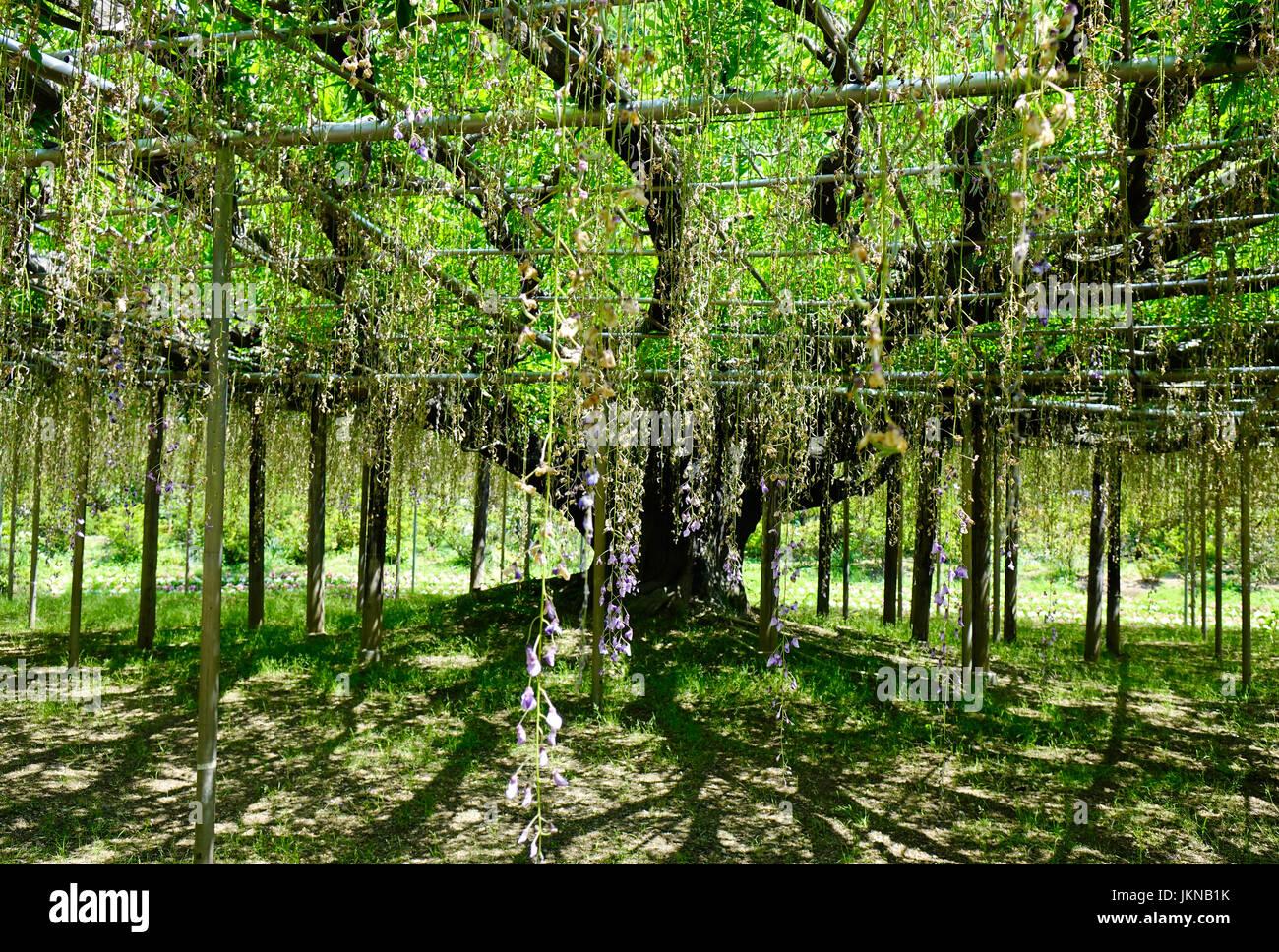 Wisteria tree at Ashikaga Flower Park in sunny day. The park located in Ashikaga City, Tochigi Prefecture, Japan. - Stock Image