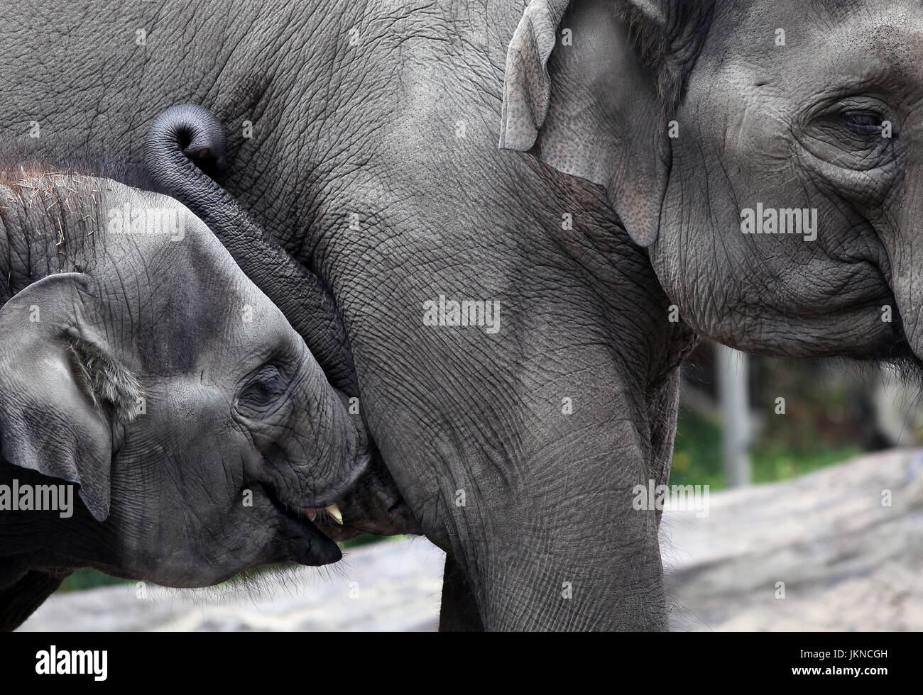Baby elephant suckling milk from its mother - Stock Image