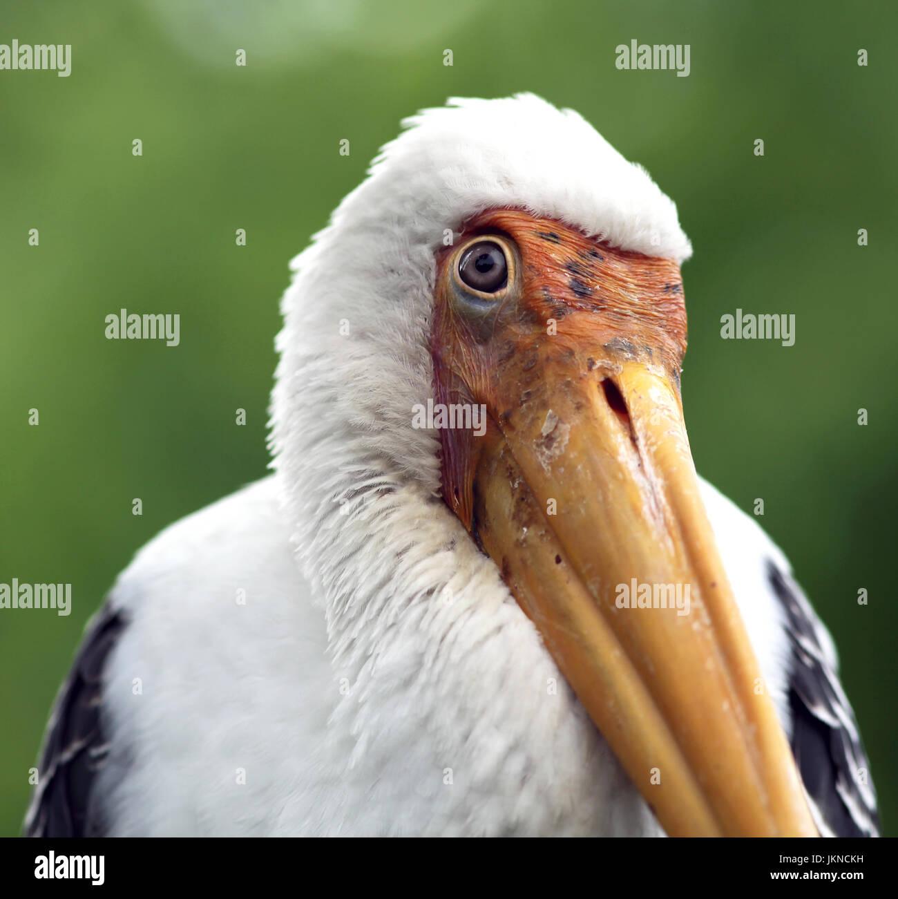 Milky stork (Mycteria cinerea) almost completely white plumaged stork species found predominantly in coastal mangroves - Stock Image