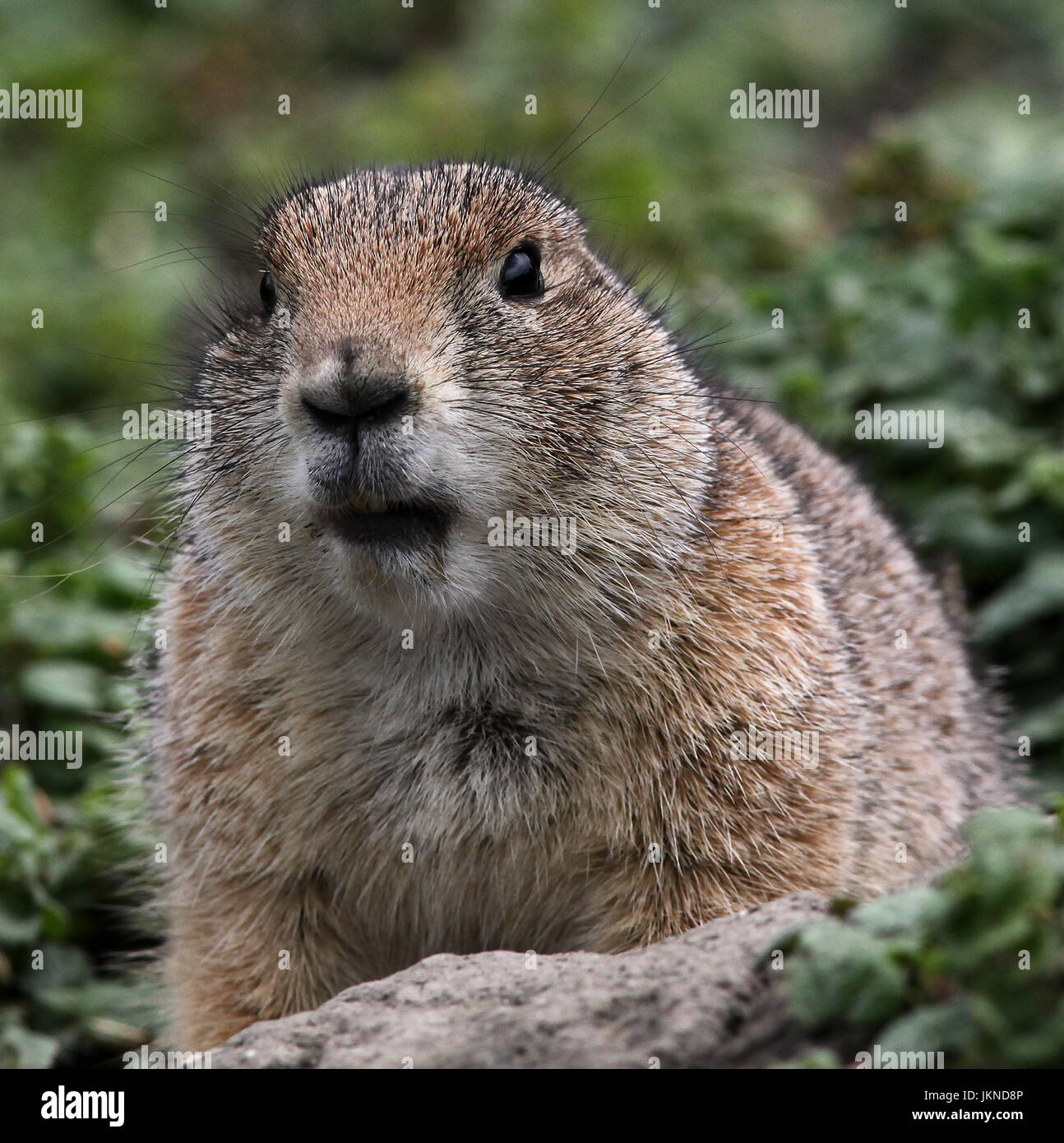Black-tailed prairie dog.Cynomys ludovicianus.A rodent of the family Sciuridae. - Stock Image