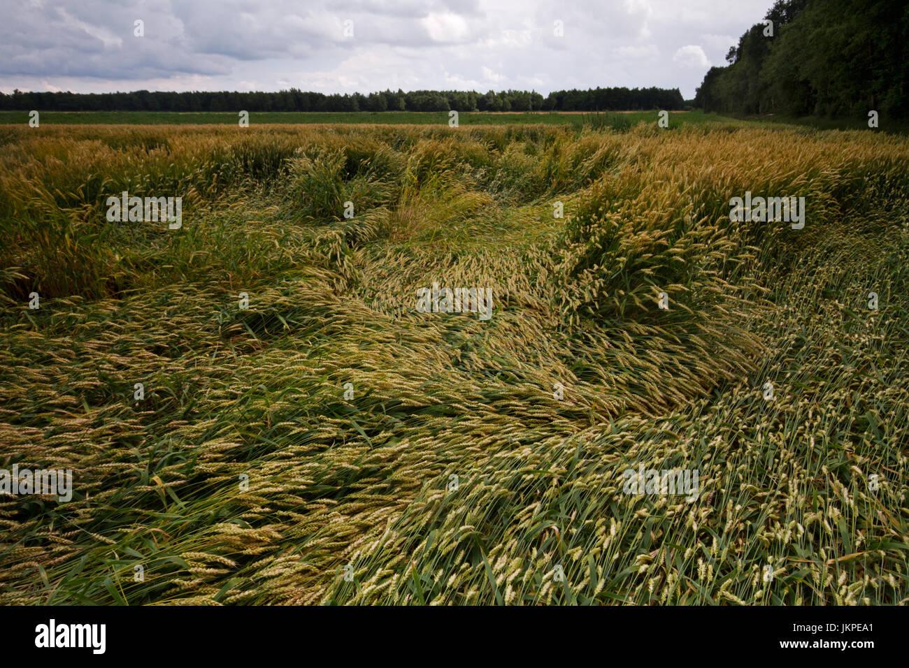 Barley crop flattened by wind and rain under a dark sky - Stock Image