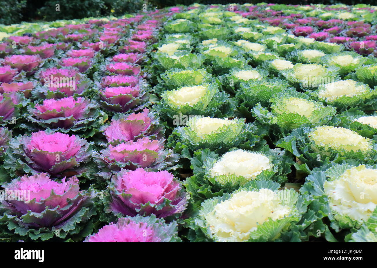 Purple And White Flower Bed Background Stock Photo 149858848 Alamy